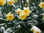 A host, of golden daffodils... W. Wordsworth