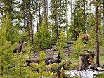 In other places, seeing a cow moose and a bull elk together might be strange
