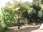 la végétation tropicale  avec manguier, avocatier, bananiers, goyaviers ... une table est disponible