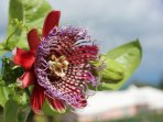 Passion Flower, growing on our property.