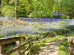 Bluebells in Glenbranter at Springtime.