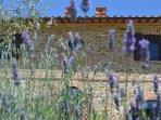 our lavender