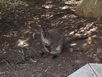Wallaby and her joey, taken at LenaWay November 2017