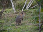 Wallaby at the creek