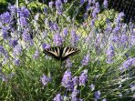 Fresh lavender and butterflies often grace the tennis court net