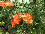 The garden has many flowering African Tulip Trees ( pictured ) plus native Grenadian flowering trees