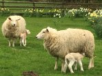 In Spring, idyllically set in county side, with baby lambs all around.