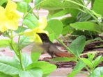 This hummingbird is a little bigger, but it is more rare on Aruba.