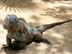 Meet the blue iguanas only found on Grand Cayman