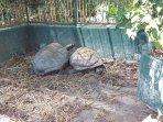 Tortoises Pen