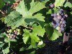 Fin de l'été,les raisins sont de deux couleurs.