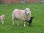 Easter lambs in our field