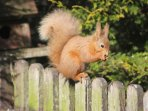 A visiting red squirrel