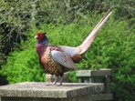 The resident big boy pheasant