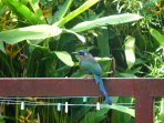 See the many colourful and exotic birds that come to visit Castara Cottage like this Mot Mot