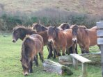 Exmoor ponies in the Valley of Rocks a short walk away