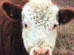 Herford koe op de Borkeld