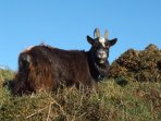 Wild Goat at Valley of Rocks, Lynton