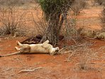 Lions with kill Tsavo East