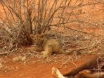 Lion cub with kill Tsavo East