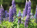 Tiger Swallowtail butterfly on Lupines