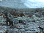 One of a couple dozen resident iguanas (not including their dozens of children)