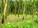 Rubber plantation nearby