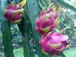 dragonfruit in garden