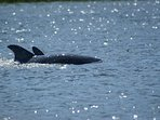 Dolphins on the Kiawah River