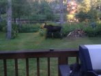 Moose walking thru the yard July 17.