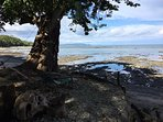 Our beautiful pachote tree, protected by a concrete seawall, pictured at low tide, shading 2 lounges