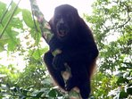 Howler monkeys frequently swing by.  Sometimes by the dozen.