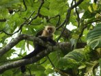 Whiteface (capuchin) monkeys like to stop by also, to eat a few fruits out of the trees, relax...