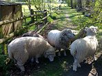 Our pet sheep at Cowbeach