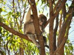 You can see wild koalas in our Woondum National Park but also when you visit Noosa.