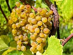Our white grapes are grown for white wine but can also be eaten, help yourself to a bunch.