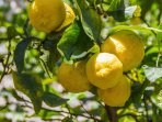 Lemons grow outside each bedroom, their scent is intoxicating filling each room with their scent.