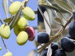 Our ancient Olive grove is used for producing fruity Olive oil but also great for eating.