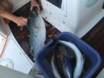 sea bream and grey mullet