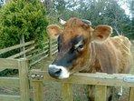 Daisy the Cow