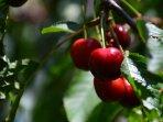 Taste few different varieties of cheries (May/June)