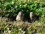 Look forward to seeing the nest of burrowing owls across the street!