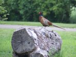 This pheasant makes a daily appearance (nicknamed Pavarotti)