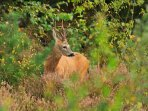 Our woodland is often visited by deer