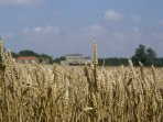 Local wheat fields ready for harvesting