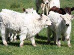 calves of the rare White Galloway cattle breed