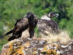 Two young bearded vultures sitting on the rock next to our garden