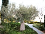 A part of garden, Olive Tree