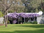 Wisteria in full bloom!!! Stunning in the months of September and October.  The smell is amazing.