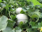 Potager / Légumes bio de saison, mis à la disposition de la clientèle.